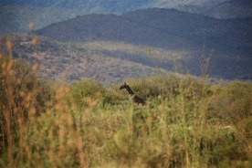 Roadside giraffe