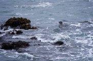 Seals just off the shore